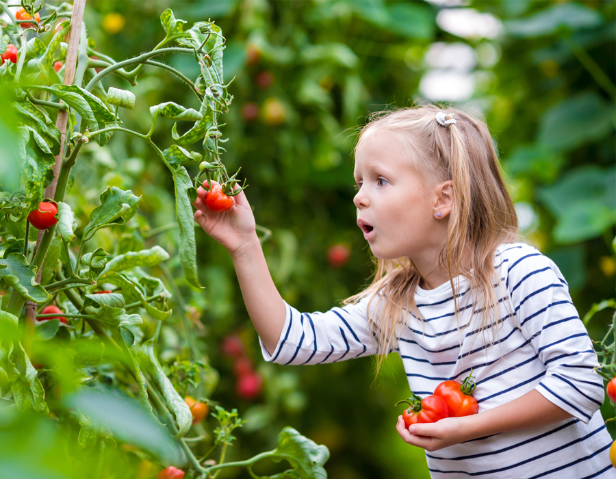 photo of a young girl picking tomatoes