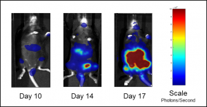 Fig. 1B: Representative BLI images of C1498-luc-mCherry tumor burden in untreated mice.