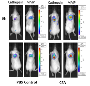 Figure 7: Imaging of BALB/c mice implanted SC with PBS and CFA-soaked sponges and injected IV with Cat B Fast 680TM and MMPSense 750 FAST.