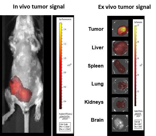 Figure 8: Imaging of BALB/c mice implanted OT with 4T1-luc2-1A4 and injected IV 24h before with ProSenseTM 750.
