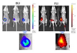 Figure 9: Multimodality imaging of 4T1-luc2-1A4 tumors by BLI (left) and FLI (right) 24h after IV injection of the cathepsin-specific ProSenseTM750 fluorescence probe. Below are closeups of the corresponding tumors.