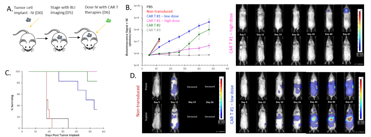 Figure 6: Effect of CAR-T therapy against human Raji-luc B cell lymphoma implanted IV into NSG mice. A. Schematic diagram of tumor cell inoculation and CAR-T therapy. B. Tumor burden assessed by BLI. C. Overall survival. D. Representative images.